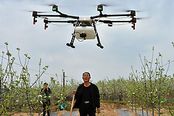 April 25, 2017 - A farmer looks at a drone spraying pesticide in his field in Jixian County, north China's Shanxi Province. Over 50,000 mu (3,333 hectares) of apple trees will be sprayed pesticide with drones this year.  dhf) (Credit Image: © Cao Yang/Xinhua via ZUMA Wire)