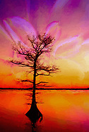 Abstract interpretation of orange/yellow dahlia with curves blended with lone cypress tree sunset