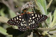 Euphydryas c. chalcedona - Chalcedon Checkerspot
