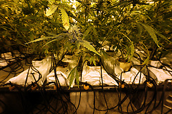 NETHERLANDS UNDISCLOSED LOCATION 8JAN14 - Detail of a small-scale cannabis farm at an undisclosed location in the Netherlands.<br /> <br /> jre/Photo by Jiri Rezac<br /> <br /> © Jiri Rezac 2014