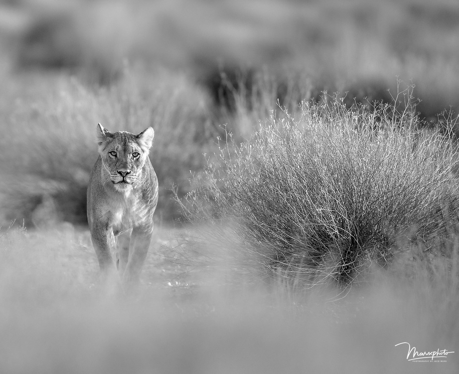 A lioness approaching me in early morning light at the Kgalagadi Transfrontier Park, South Africa, taken on 20 November 2015.  The soft and subtle foreground and background isolated the lioness and I wanted the vegetation on the right to balance the frame.  I used Adobe Lightroom 6 for post processing.  Post-processing included cropping, dust removal and horizon straightening.  I decreased the highlights by 20$, corrected the profile and increased by 30%.  Global sharpening was done about 30%.  Shadows increased by 20%. Monochrome converted images from African fauna and flora.