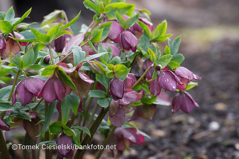 Helleborus,hybridus