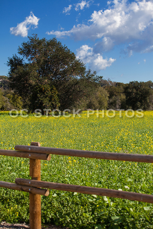 Wild Yellow Mustard Field in San Juan Capistrano California