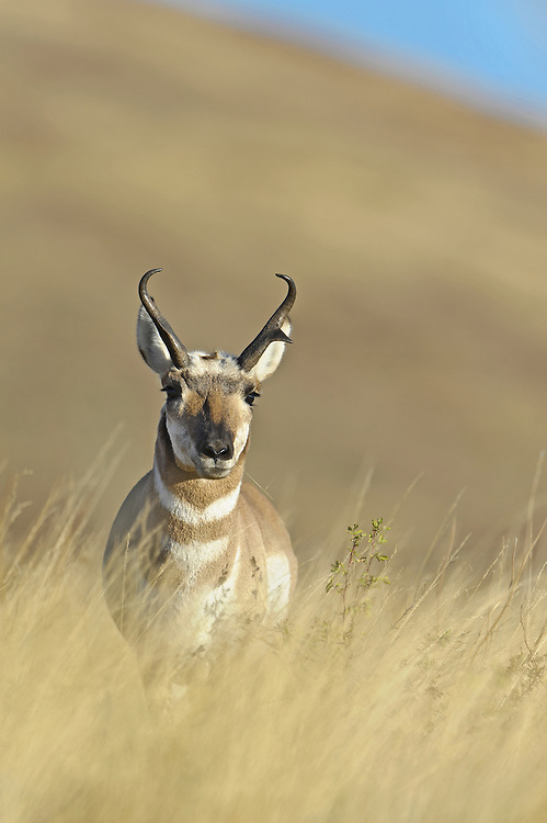 Pronghorn Buck - Antilocapra americana - Western Montana