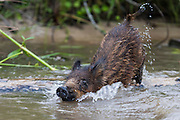 A juvenile Russian wild boar playfully shaking off excess water, after swimming in the swamp, Louisiana.