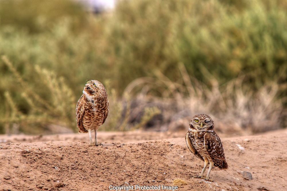 Burrowing Owls staying close to their holes guarding against  predators.