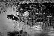 USA, Florida, Boynton Beach. A tricolored heron (Egretta tricolor) takes flight from a wetland.