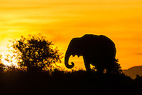 African Elephant feeding at dusk and silhoutted against the skyline, Addo Elephant National Park, Eastern Cape, South Africa