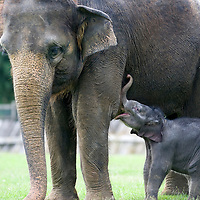 Dunstable England July 28th  Photocall for the new born elephant at Whipsnade Zoo ZSL. The baby elephant not yet named  was born on Thursday the 23rd and now weight around 120Kg...***Standard Licence  Fee's Apply To All Image Use***.Marco Secchi /Xianpix. tel +44 (0) 845 050 6211. e-mail ms@msecchi.com or sales@xianpix.com.www.marcosecchi.com