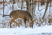 Whitetail buck in winter habitat