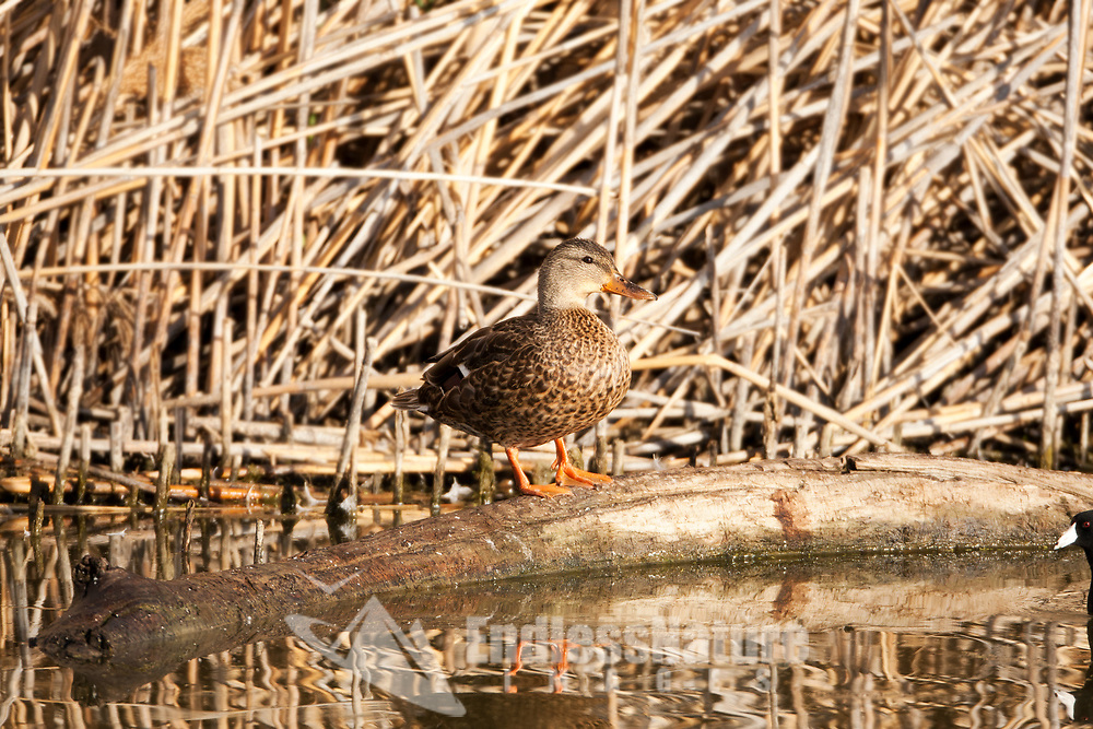 Hen Mallard rests on a log that's on the edge of a pond surrounded by cattails.