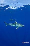 tiger shark, Galeocerdo cuvier, North Shore, Oahu, Hawaii, USA ( Central Pacific Ocean )