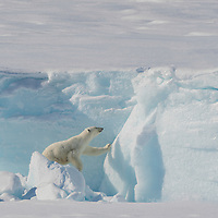 Sequence of seven images capturing a polar bear climbing the face of an iceberg on Baffin Island, Canada