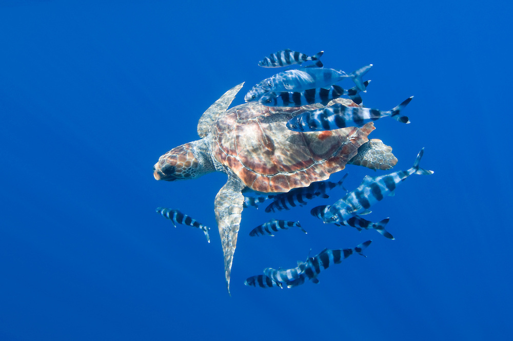 Loggerhead turtle, Caretta caretta, with a school of pilot fishes, Naucrates ductor, Pico, Azores, Portugal