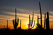 The setting sun shines through the arms of a saguaro (Carnegiea gigantea) cactus in Saguaro National Park, Arizona. Saguaros can live for 150 years and generally don't grow their first arms until they are 75-100 years old.