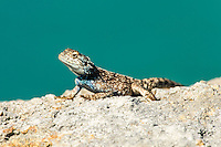 A Rock Agama suns itself on a large flat rock; Robberg Nature Reserve; Western Cape; South Africa