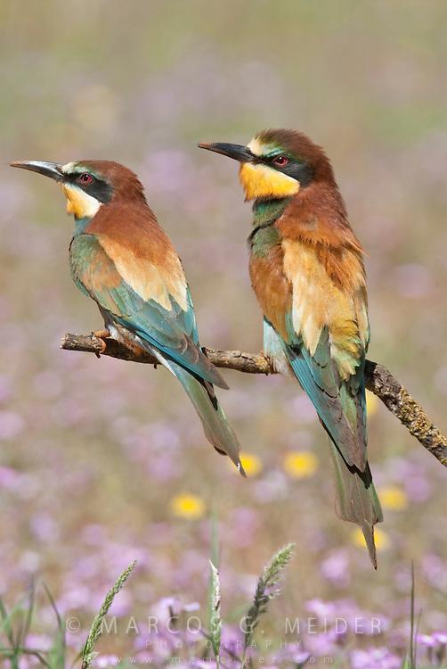 EN. European Bee-eaters (Merops apiaster). Pair perched close together on branch. Andalucia, Spain<br /> ES. Abejaruco europeo (Merops apiaster). Pareja posada juntos en una rama. Andalucia, Espa&ntilde;a