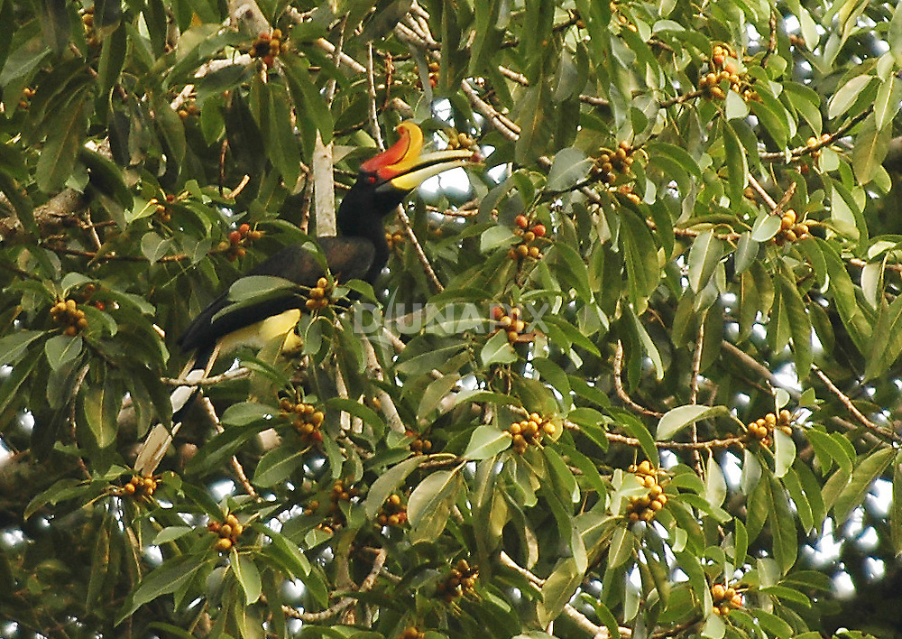 A Rhinoceros hornbill selects a ripe fig that seems a perfect match for his color scheme.
