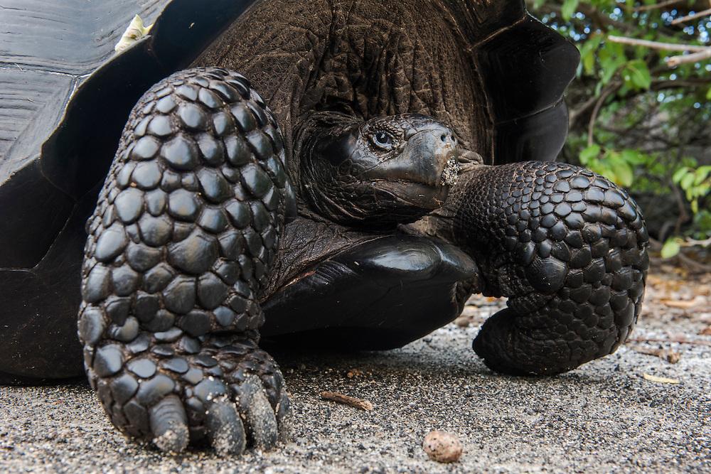 Galapagos Giant Tortoise (Geochelone vandenburgi)<br /> Urbina Bay<br /> Isabela<br /> Galapagos<br /> Ecuador<br /> South America