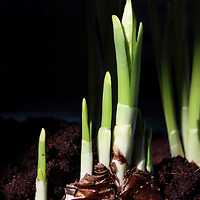 Paperwhite bulbs sprouting, Narcissus tazetta