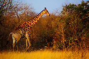 Giraffe walking at sunset, Sabi Sands Private Game Reserve, Sabi Sabi, South Africa
