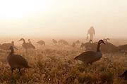 Canada Goose Hunting, pea field, Saskatchewan, Canada