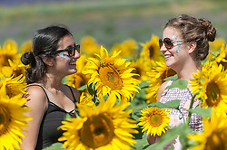 © Licensed to London News Pictures. 17/08/2016. Ickleford, UK. (L to R) Students Ghazal Seidi (15) and Freya Palmer (15) enjoy the sunflowers in the summer sunshine at Hitchin Lavender farm.  The sunflowers, which have just started to flower, and lavender fields attract visitors who can pick the flowers to take home. Photo credit : Stephen Chung/LNP