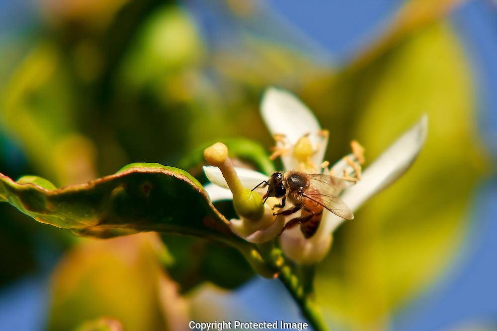 Orange blossom's are a favorite of honey bee's seeking pollen