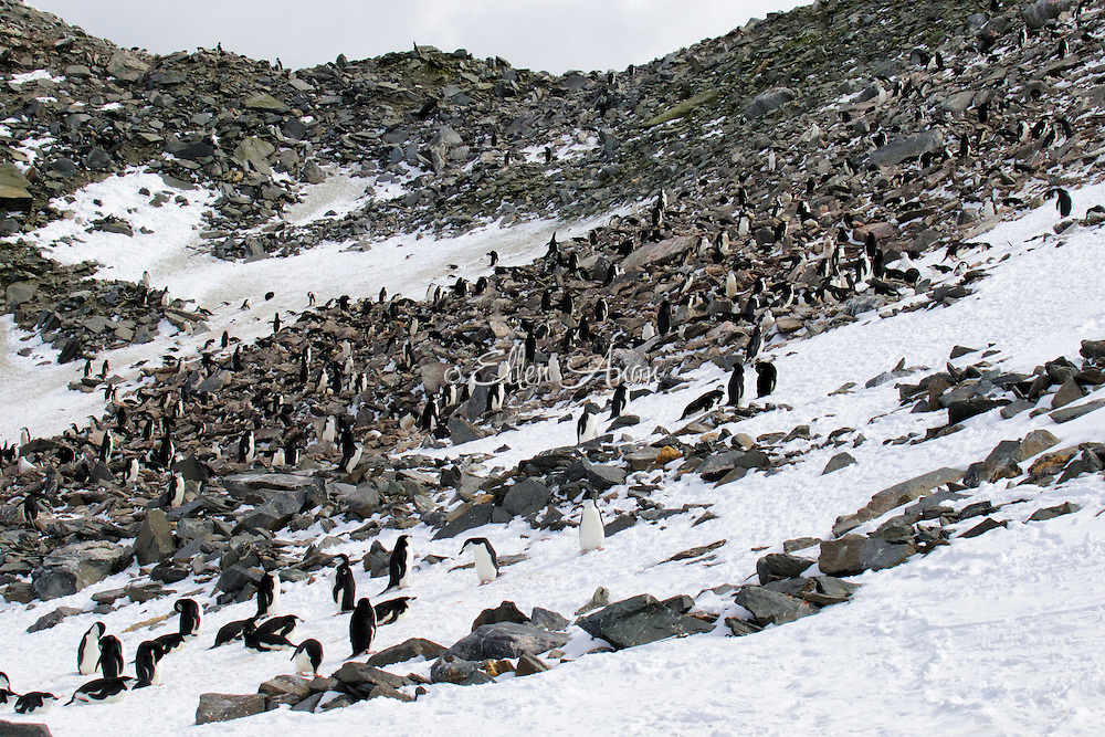 Chinstrap penguin colony, Point Lookout, Elephant Island, South Georgia
