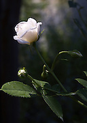 A white rose in the early morning light at Brookside Gardens on August 25, 2007 in Wheaton, MD.
