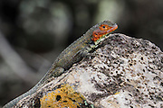 lava lizard Photographed in the Galapagos Island, Ecuador