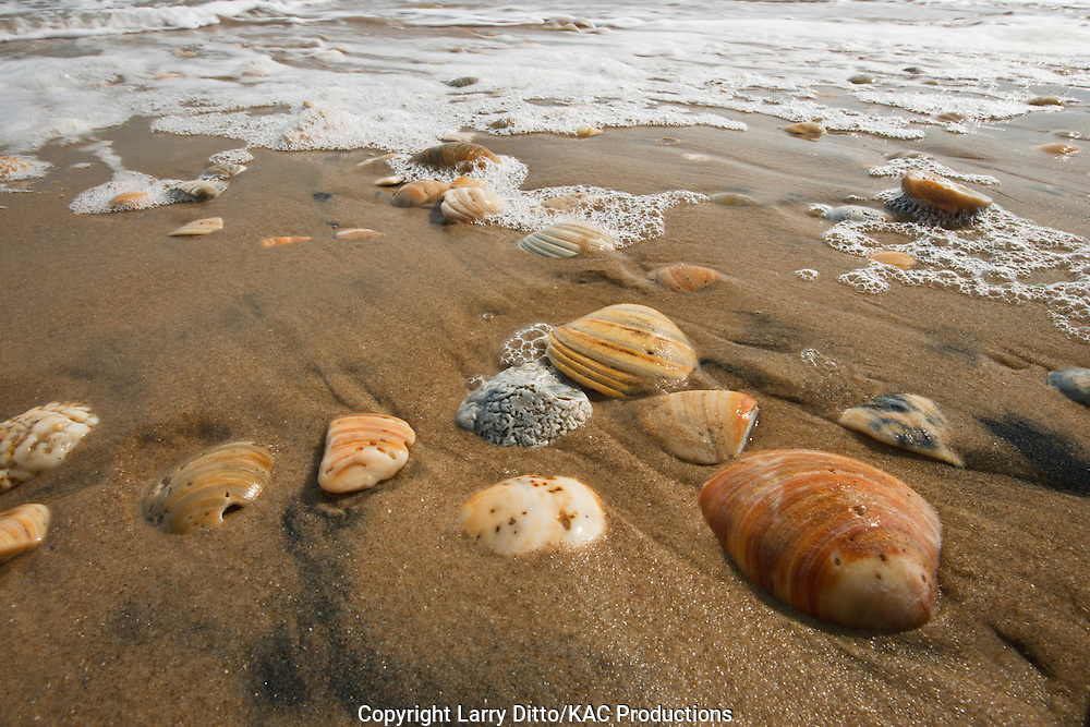 sea shells on beach at South Padre Island, Cameron Co., Texas, USA