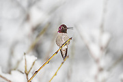 A male Anna's hummingbird (Calypte anna) calls out from its snowy perch in Snohomish County, Washington. Anna's Hummingbirds are native to the west coast of North America.