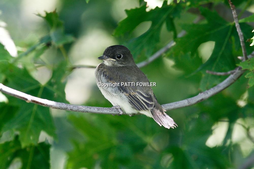 Eastern Phoebe juvenile
