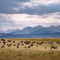 bison heard on prairie badger two medicine background