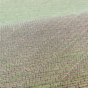 April 12, 2012 - Willamette Valley, OR : A hillside covered with dormant grape plants grown for wine production, sit on a hillside near De Ponte Cellars vineyard in the Willamette Valley during a rain shower.