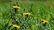 blühender Weiden-Alant, Naturschutzgebiet Eriskircher Ried, Bodensee, Baden-Württemberg, Deutschland