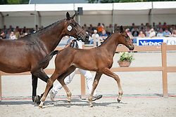 054, Kozella V G<br /> Nationale Veulenkeuring, merrieveulens springen <br /> KWPN Paardendagen Ermelo 2015<br /> © Hippo Foto - Leanjo de Koster
