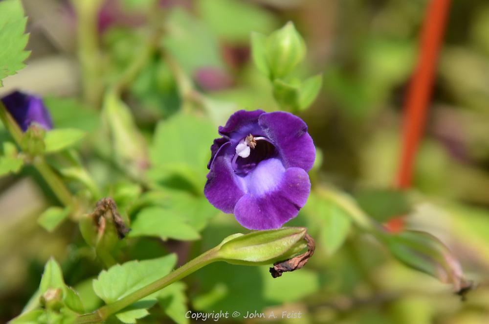 Beautiful purple leaves with a velvet like surface.  Hillsborough, NJ