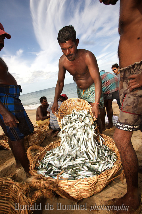 Fishermen are emptying their net. The buyer is already waiting with a truck to transport the fish to the market..A group of 18 fishermen working together pulling in a gigantic net. Fishermen on the East coast of Sri Lanka often work together due to the lack of boats. After the Tsunami this became even more necesary due to the destruction of many fishing boats. Emergency relief had not yet reached all of these man one year after the flood.