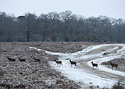 © Licensed to London News Pictures. 14/01/2013. Richmond, UK Deer cross a snowy path. Deer and people in the light dusting of snow at Richmond Park this morning. Snow hits the many parts of the UK today 14th January 2013. Photo credit : Stephen Simpson/LNP