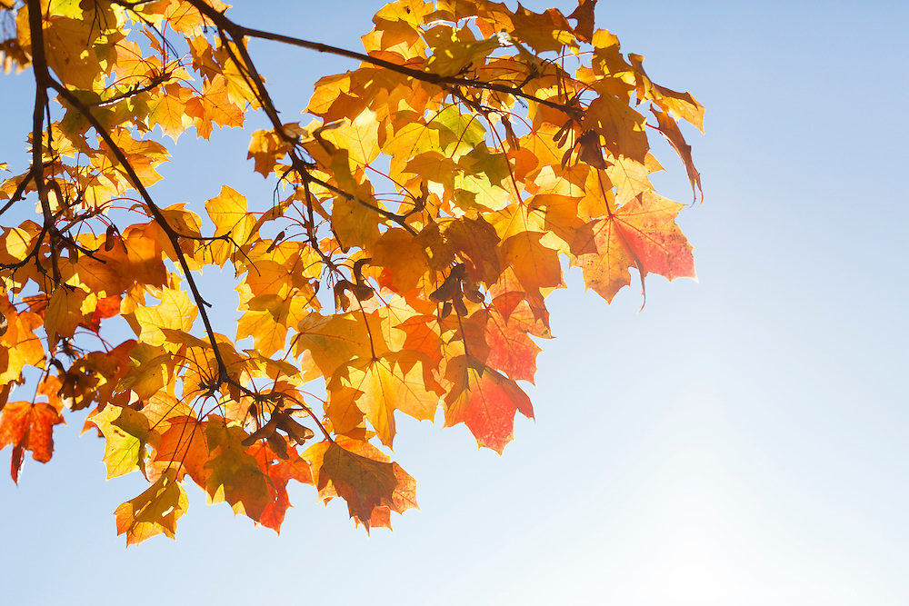 Autumn in Ireland, 2012: The warm Autumn Sun shines of the moulticoloured leaves on a tree. The rich red and yellow colours stand out against the sky in the background while the glow of the sun creates a glow around the leaves