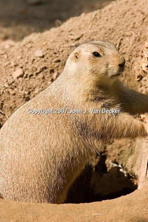 Black-tailed Prairie Dog at burrow opening