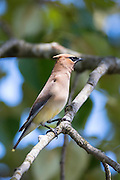 A Cedar Waxwing (Bombycilla cedrorum) rests in a tree on Smith Island, Everett, Washington.