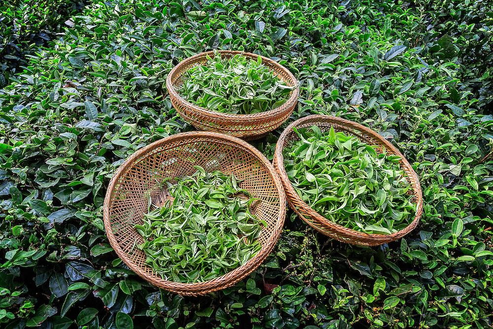 Fresh tea leaves in baskets.