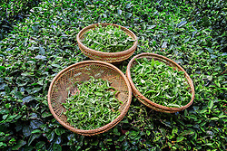 Fresh tea leaves in baskets.