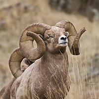 bighorn sheep two trophy rams wild rocky mountain big horn sheep