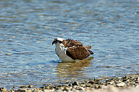 Osprey Pandion haliaetus bathing along edge of beach taken from Causeway between Fort Myers and Sanibel Island Florida USA