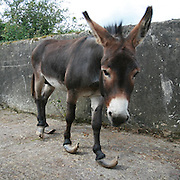 """Abandoned Johnny's suffering is over<br /> After up to years of being abandoned, he could have died in agony and alone, but Johnny the stallion donkey was blessed by an amazing lucky encounter. Left to his fate and in excruciating pain from overgrown hooves and twisted legs, the 10-year-old donkey was literally stumbled upon by a photographer taking pictures in the Mourne Mountains in Northern Ireland . Horrified at what he found, he alerted local police – and Johnny's time in the wilderness was over. A rescue mission was launched by police and Allen Andrews, the Northern Ireland welfare officer of the Donkey Sanctuary.<br /> Said Mr Allen: """"When I arrived I could instantly see that this donkey must be in great pain. His hooves were among the longest I have ever seen, and may not have been attended to by a farrier for at least two years. All four of his hooves were curled and cracked, causing the stallion to walk awkwardly and his legs to become twisted. I cannot imagine how painful this must be for him, and yet he still had a lovely temperament and did not seem to be scared of people.""""<br /> The donkey – named after the police officer involved in his rescue – is now being cared for at the sanctuary's holding in County Tyrone where his feet were X-rayed by a vet to check for internal damage and his hooves trimmed to help him walk normally again.<br />  Johnny joins the thousands of donkeys rescued by the charity which supports projects to relieve the suffering of donkeys in 29 countries worldwide, including sanctuaries across Europe, where more than 14,500 donkeys and mules have been cared for, and major projects in Egypt , Ethiopia , India , Kenya and Mexico , where donkey welfare is improved through community education and veterinary work. Added Mr Allen: """"As no owner could be found, the decision was made with the local police to take the donkey our holding base. We have no information about the donkey's background, or how long he may have been abandoned on t"""