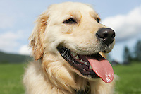 Close-up of golden retriever panting